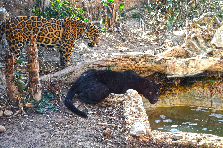 2 jaguares junto charca